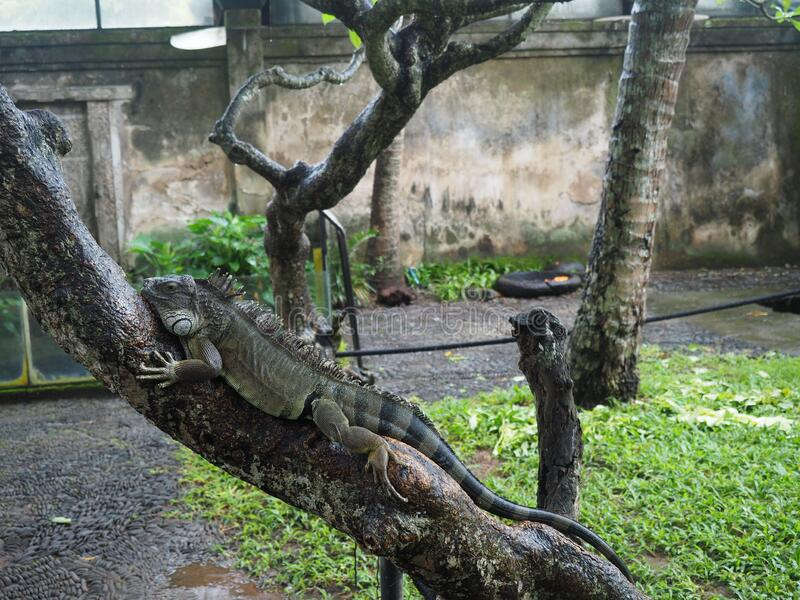 A large iguana is lying on a tree branch. In rainforest. Bird and reptile Park, Bali stock images