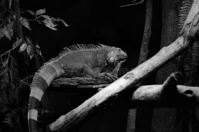 Large iguanas with jagged backs and a firm skin texture stock photos