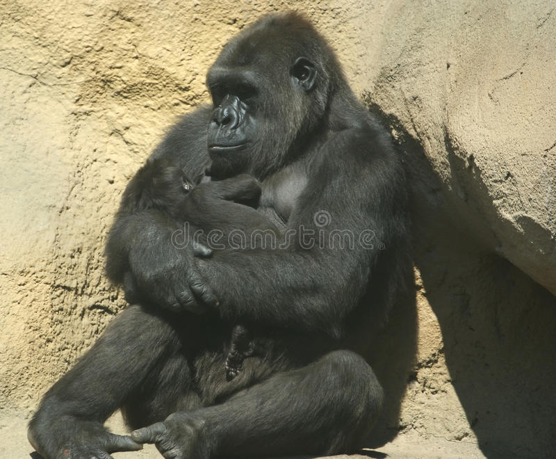 Download The Large Image Of A Sitting Gorilla Coastal Stock Photo - Image: 12348668