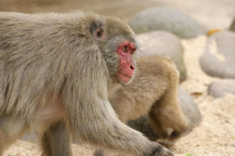 Download The Large Image Of A Small Brown Monkey Stock Photo - Image: 12322924