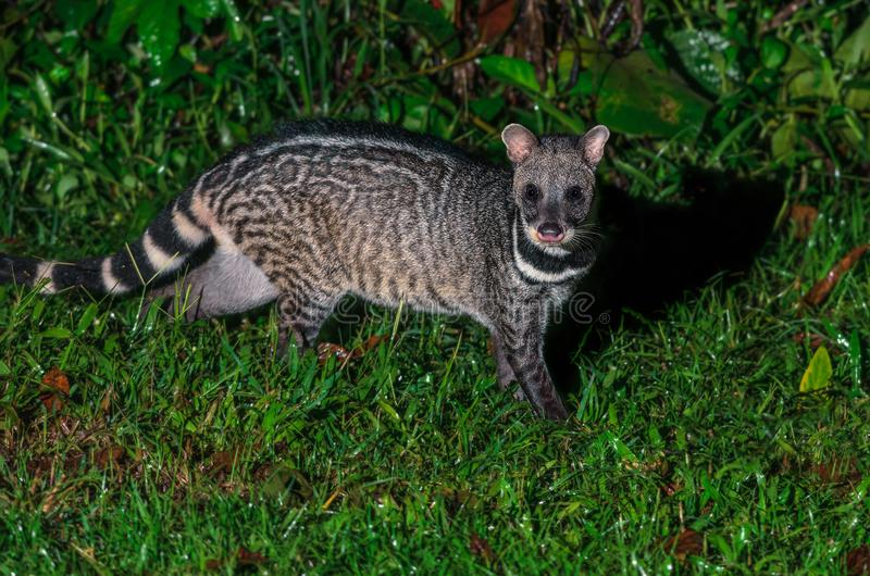 Large indian civet or Viverra zibetha, A nocturnal creature. stock images