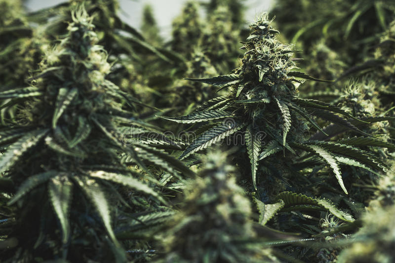 Large indoor cannabis buds stock photography