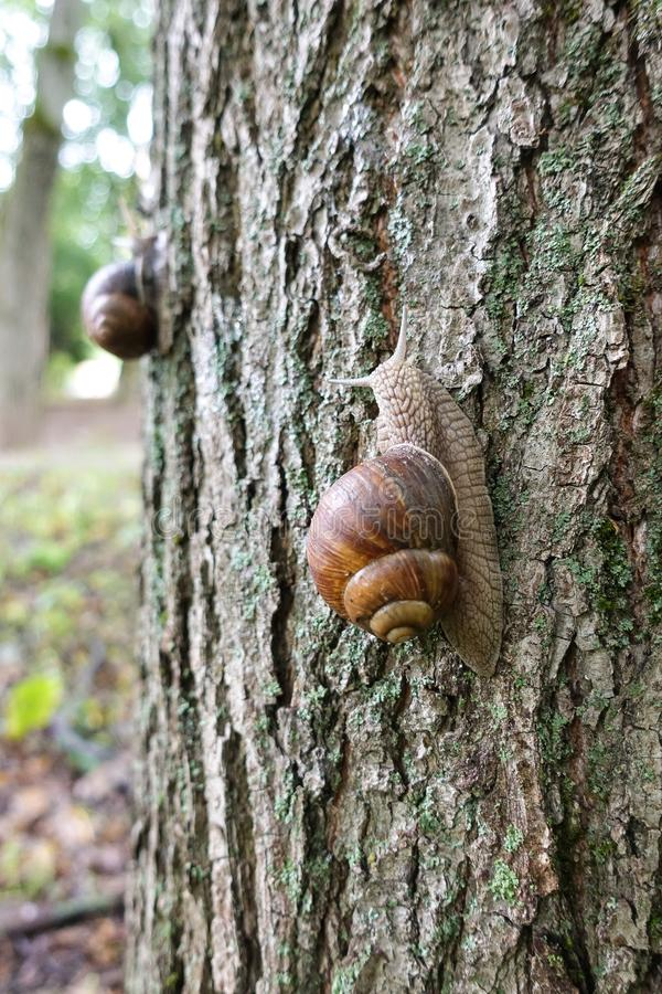A large inshell grape snail climbing a tree along the bark, an edible snail or snail, is a large, edible species stock photography