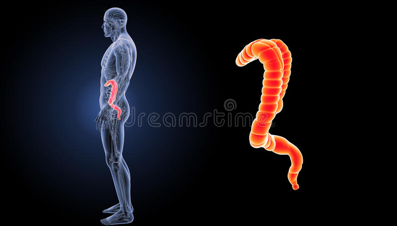 Large Intestine Zoom With Anatomy Lateral View Stock Illustration