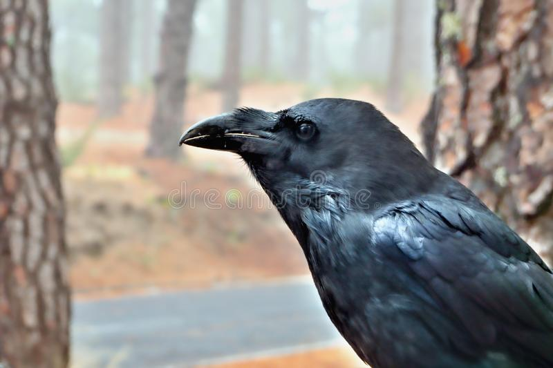 A large jackdaw a raven bird in the side profile on the Los Muchachos stock photo
