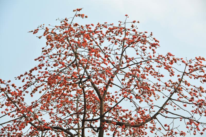 Large Kapok tree. Background of a large Kapok tree in full bloom with red flowers over the sky stock images