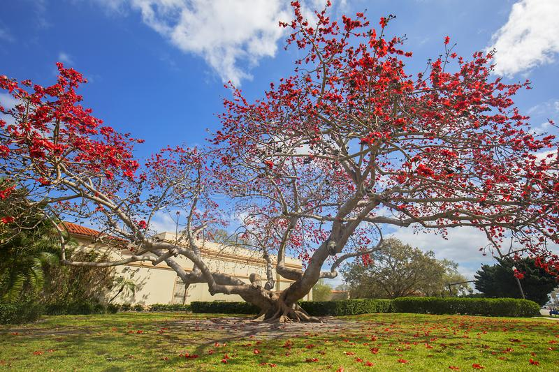 Large Kapok Tree In Red Bloom. A large Kapok tree is in full bloom with red flowers stock images