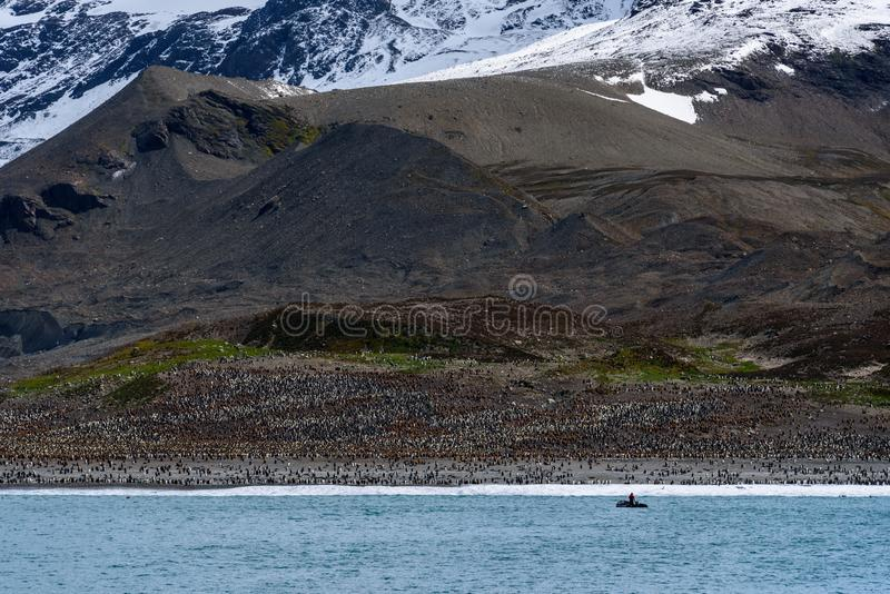 Large King Penguin colony at St. Andrews Bay, view from the water of the beach covered in penguins, person in inflatable raft head stock photography