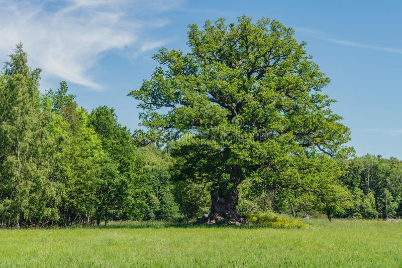 Old knotty oak tree in summer sunshine. Large and knotty old oak tree standing at the end of a green field against a blue sky and bright summer sunshine stock images