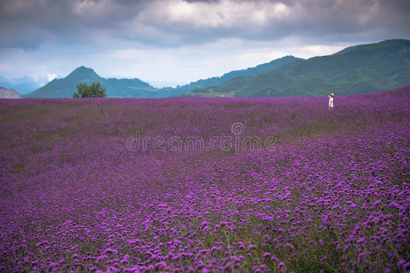 A large lavender field with single woman royalty free stock images