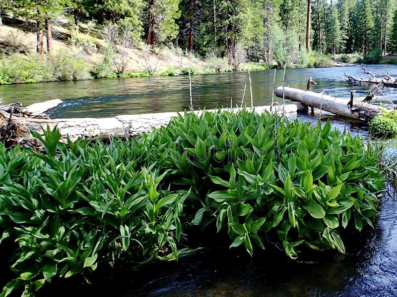 Large leaf plants in Metolius River. Large leaf green bushes growing along the banks in the Metolius River in Central Oregon on a sunny spring day royalty free stock photos