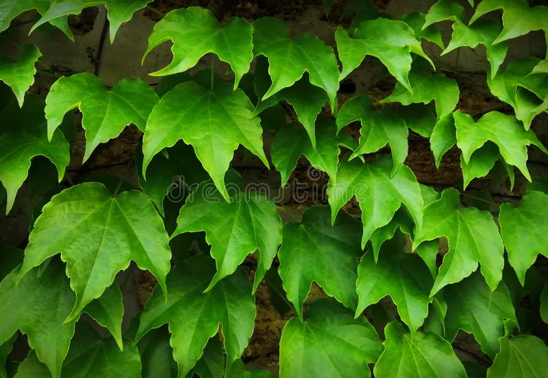 Large leaves of green climbing grapes growing on a brick wall. Background for the cover of the site. Close-up, top view stock photo