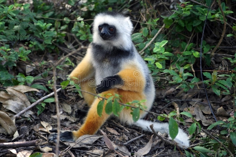 Large lemur in natural environment royalty free stock photography