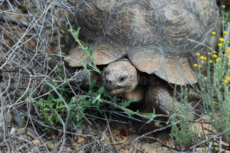 Large leopard tortoise in Meiringspoort Pass. South Africa royalty free stock photography