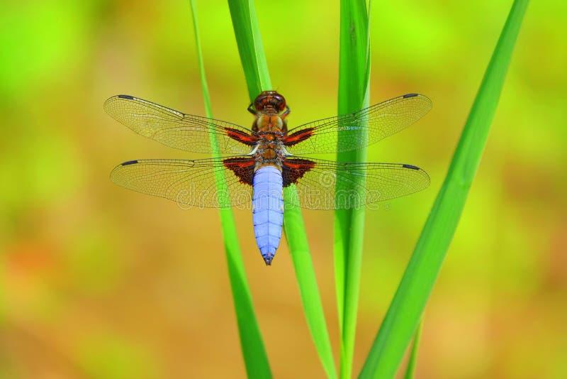 Large libellule bodied de chasseur sur la tige tubulaire image libre de droits