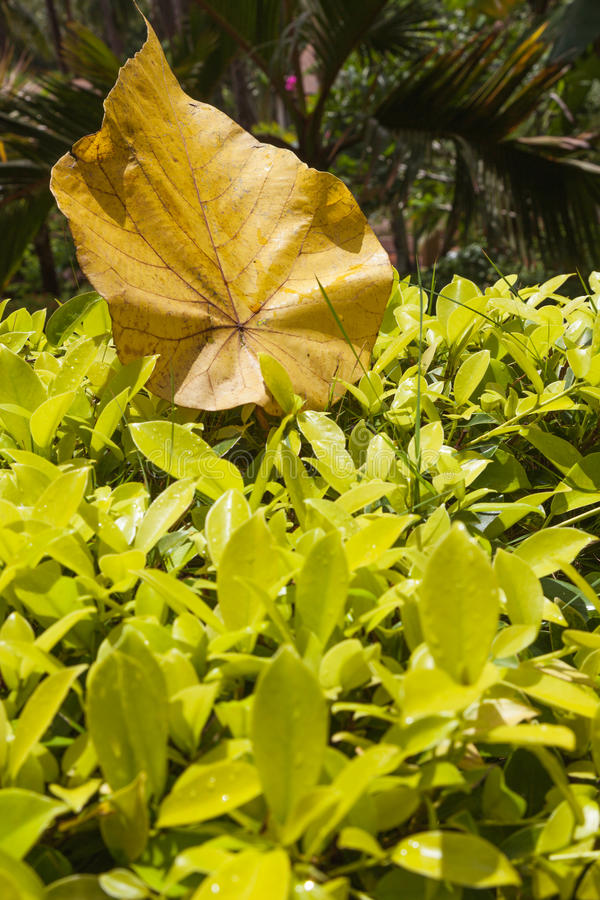 Large light brown leaf lies on top of the small light green leafs. royalty free stock images