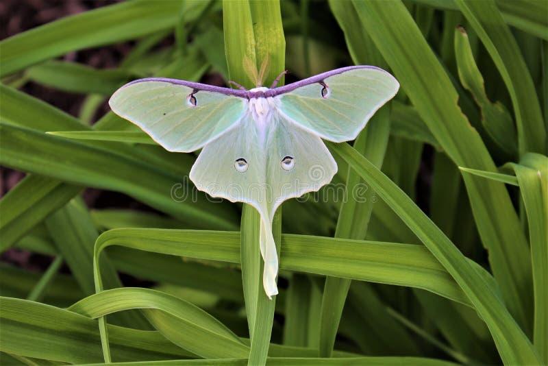 Actias luna, the Luna Moth. Large lime-green Atias Luna, the Luna Moth, Nearctic Saturniid moth on green vegetation royalty free stock photography