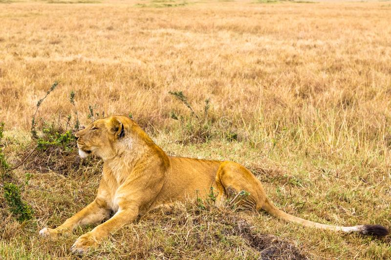 A large lioness lies on the grass. Masai Mara, Africa royalty free stock images