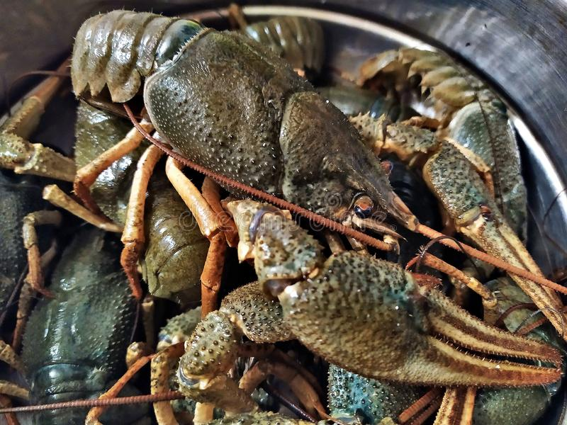 Large live gray crayfishes in a metal bowl . Fresh uncooked raw crayfish ready for cooking. Side view stock images