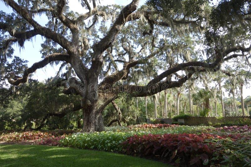 Large live oak in South Carolina public garden royalty free stock image