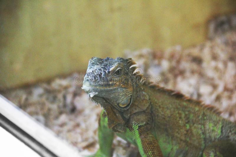 Large lizard close-up. Lacertilia royalty free stock images