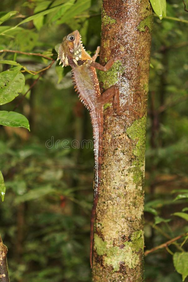 Boyd`s Forest Dragon in Australia. Large lizard found on trees in rainforest areas royalty free stock photo