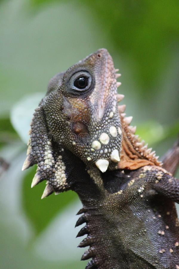 Boyd`s Forest Dragon in Australia. Large lizard found on trees in rainforest areas stock image