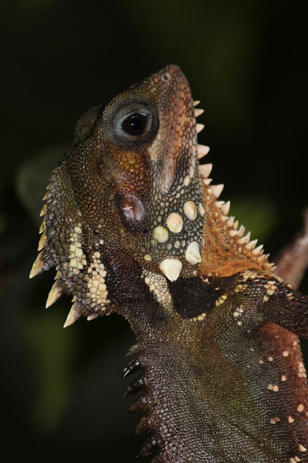 Boyd`s Forest Dragon in Australia. Large lizard found on trees in rainforest areas stock photos