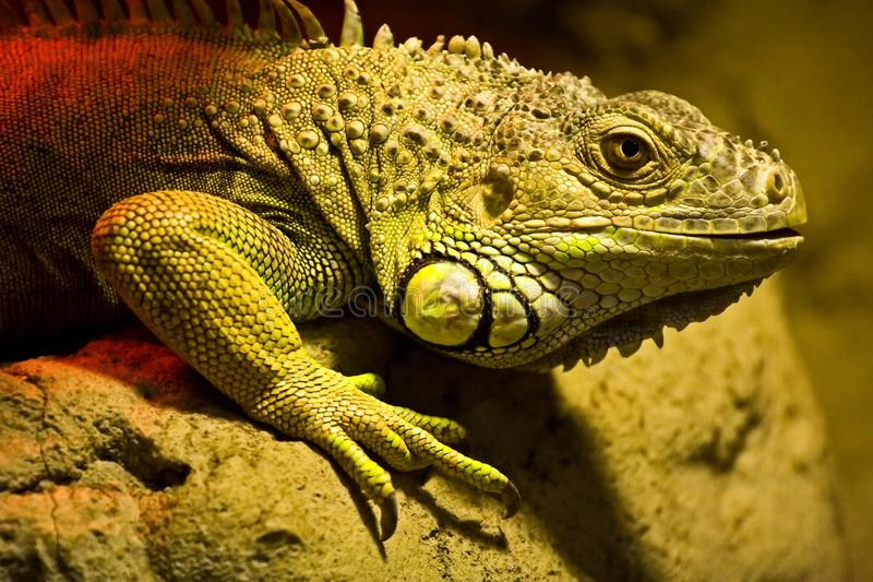 A large lizard sits on a rock royalty free stock photography