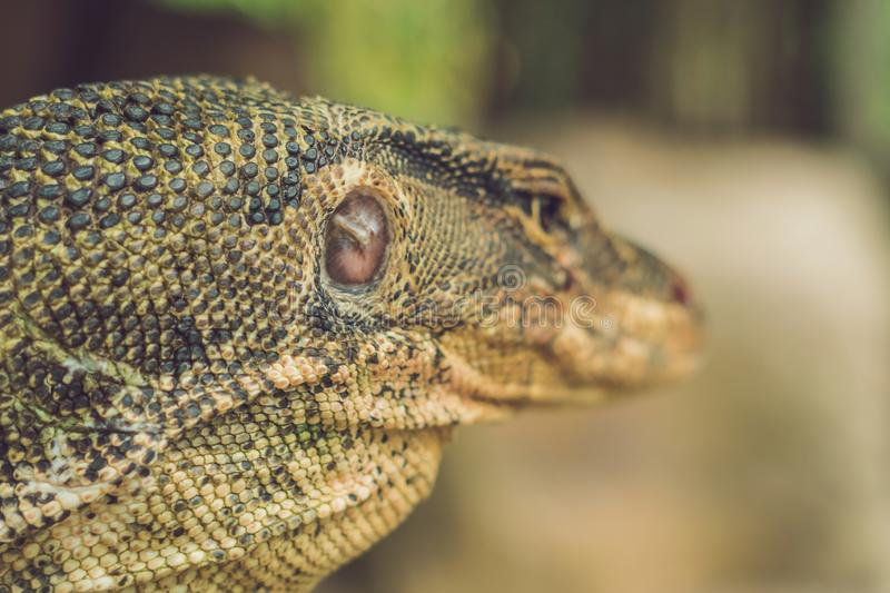 A large lizard in the terrarium of the zoo behind the glass stock photography