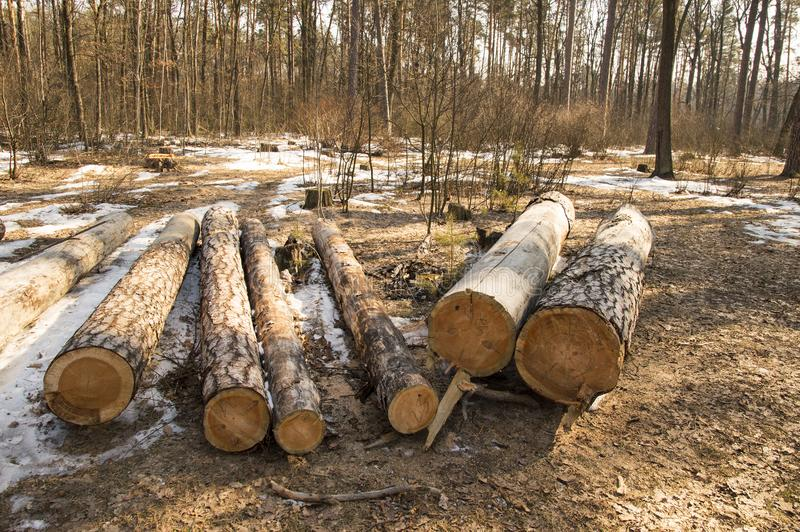 Logs of trees stacked after a felling royalty free stock photography