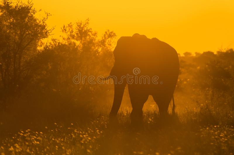 A large, lone, African elephant loxodonta africana in the African bush at sunset. Kruger stock images