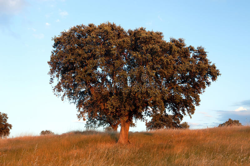 Large lone tree. Surrounded by blue sky royalty free stock photography