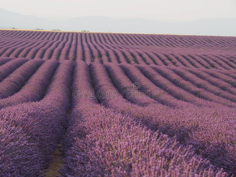 Large, long Rows of Lavender large field of Lavender. Large long rows of a lavender field, purple,pink horison gery mountains stock photos