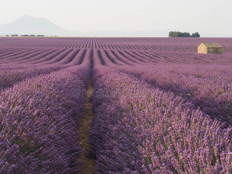 Large, long Rows of Lavender. Purple, pinks, rows of lavender, with stone building, horizon, mountain stock photos