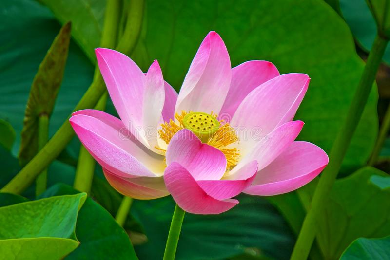 Large lotus flowers. bright pink buds of lotus flower floating in the lake. royalty free stock photography
