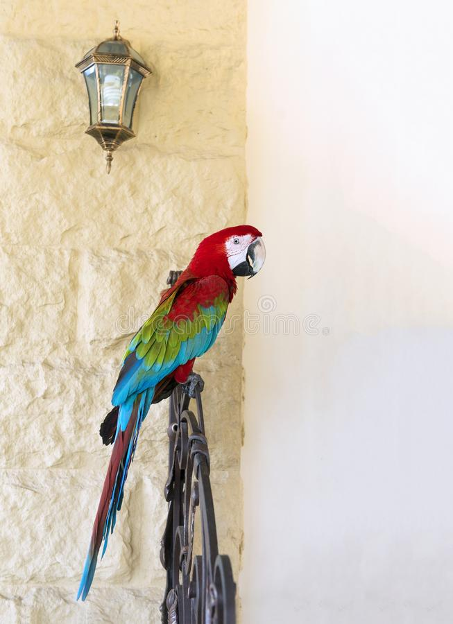 Large macaw parrot sitting on the railing, red, blue, green, col. Large macaw parrot sits on a railing against a wall, red, blue, green, multicolored feathers, a royalty free stock photography