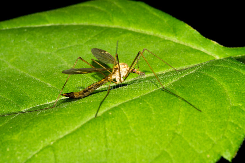 A large malarial mosquito sits on a green leaf. Macro royalty free stock photography