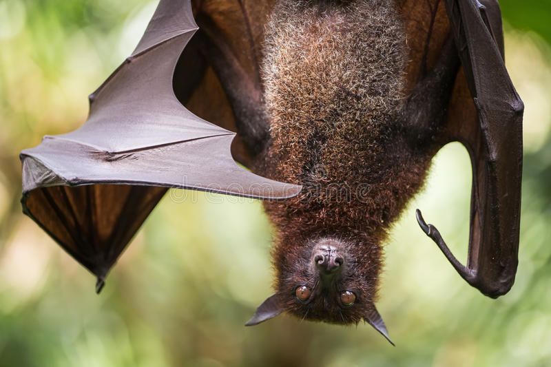 Large Malayan flying fox close-up stock photos