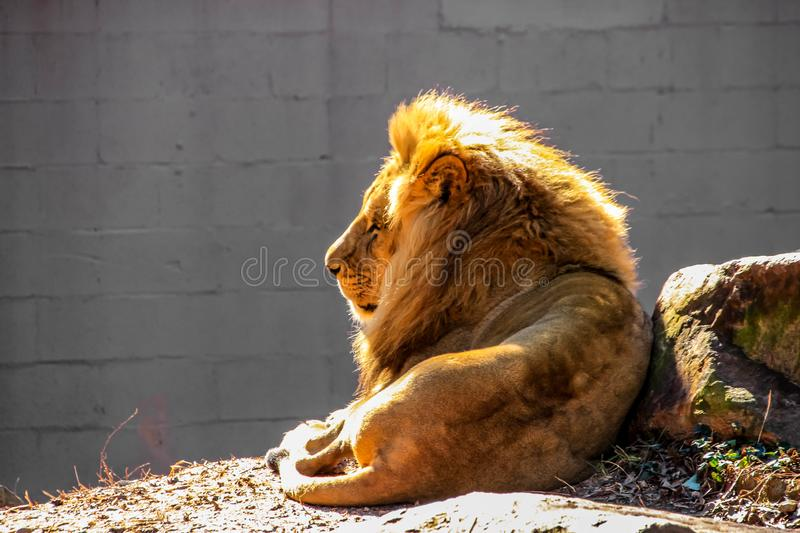 A large, male African lion with a bright, golden mane gazes into the distance while lying down in a zoo enclosure. royalty free stock image