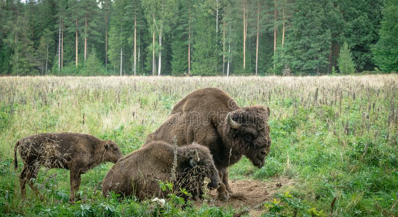 Large male and cub of the American bison in the national park. Large male of american bison in the national park Priokskiy stock photography