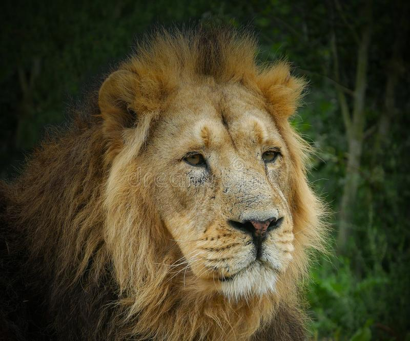 Large male Asiatic Lion portrait - head and face with thick golden mane of fur. Green foliage background. stock image