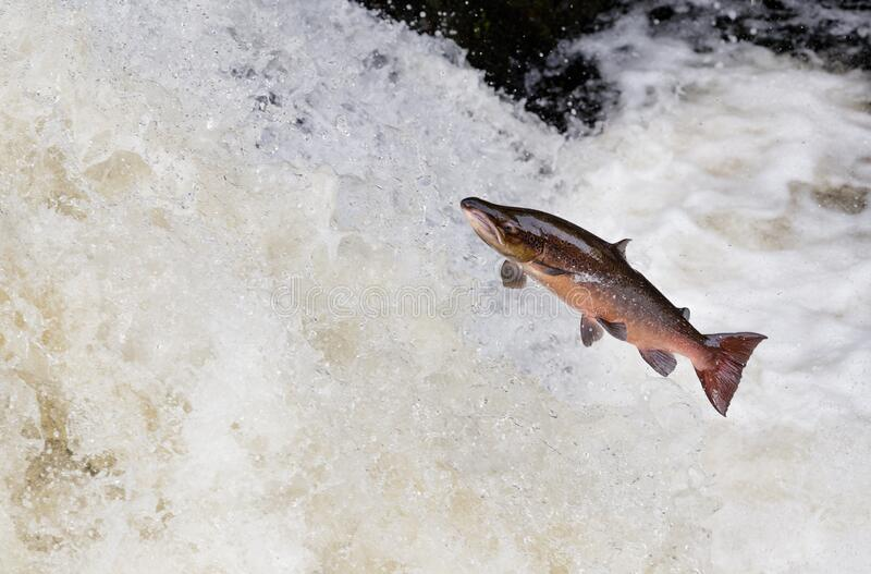 Large male Atlantic salmon leaping on water fall. The mighty Wild Atlantic salmon leaping on waterfall on migration to spawning grounds during the summer in the royalty free stock images