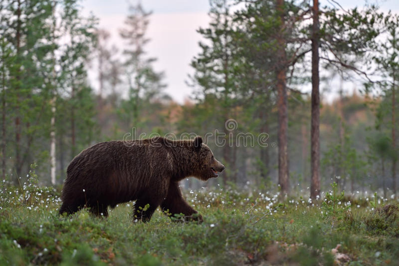 Large male brown bear walking in blossoming grass stock photography