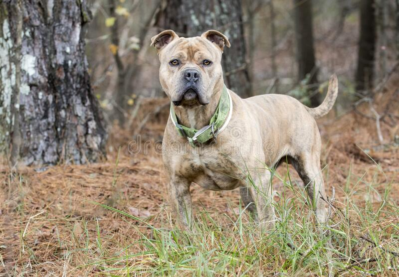 Large male Bulldog Pitbull Presa Canario Mastiff mix breed dog with collar. Large light tan brindle male Bulldog Pitbull Presa Canario Cane Corso Mastiff mix royalty free stock photography