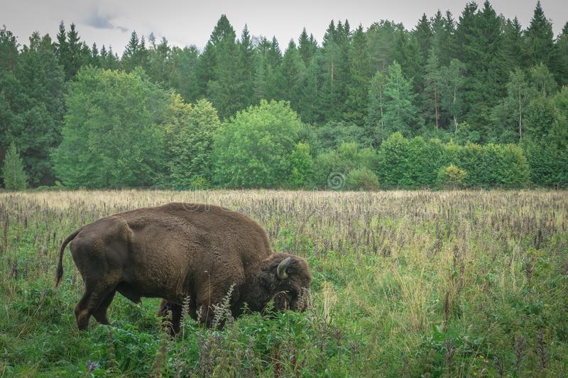 Large male and cub of the American bison in the national park royalty free stock photos