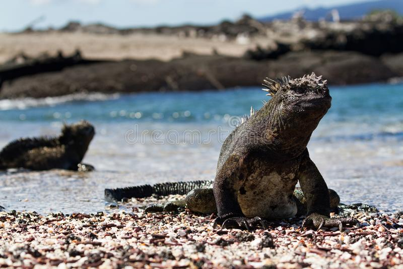 Galapagos Marine Iguana Amblyrhynchus cristatus walking on a beach, Galapagos Islands. Large male Galapagos Marine Iguana Amblyrhynchus cristatus walking on a stock image