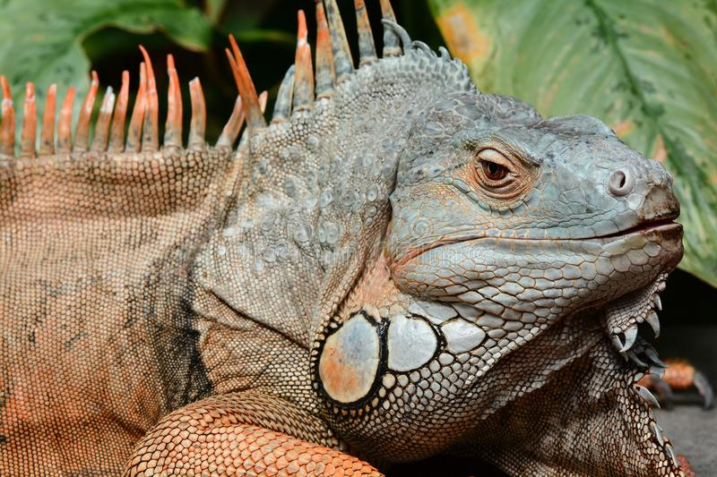 Green iguana basks in the sun. A large male green iguana soaks up the rays in the gardens stock image