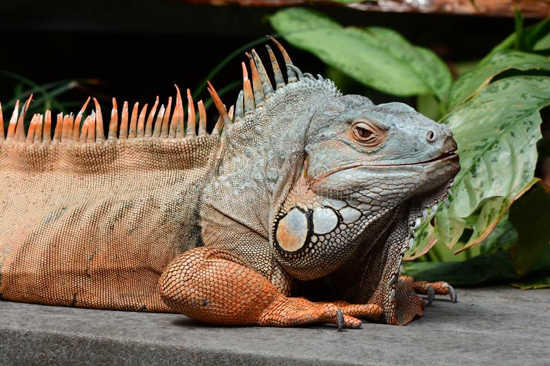 Green iguana basks in the sun. A large male green iguana soaks up the rays in the gardens stock photos