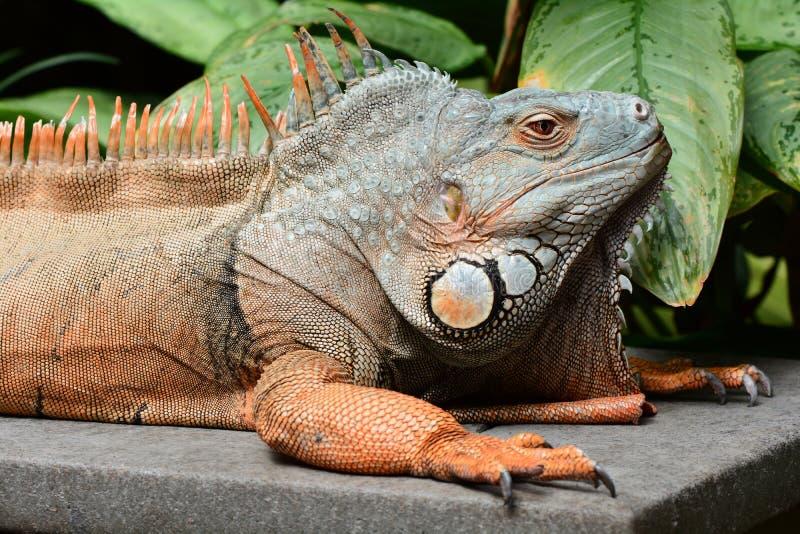 Green iguana basks in the sun stock photo